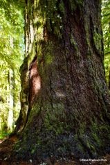 One of the oldest trees in the area, Opal Creek Wilderness